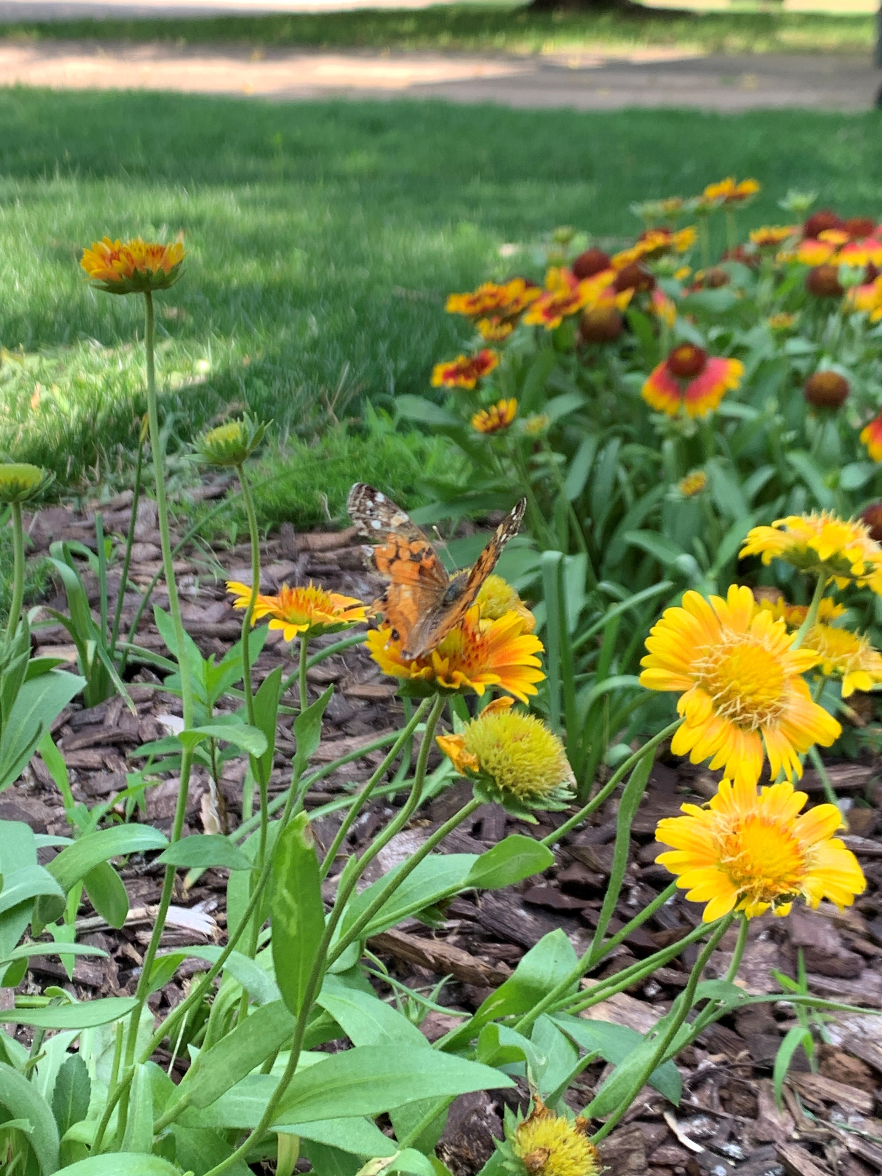 What to Plant & Where to Buy – Okies for Monarchs
